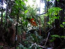 Paprocie i palmy przy namorzynowym tropikalnym lasem deszczowym, Borneo, Malezja obrazy stock