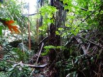 Paprocie i palmy przy namorzynowym tropikalnym lasem deszczowym, Borneo, Malezja zdjęcia royalty free