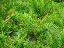 Paprocie i palmy przy namorzynowym tropikalnym lasem deszczowym, Borneo, Malezja obraz stock
