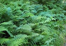Paprocie i porośle w Podzwrotnikowym tropikalnym lesie deszczowym fotografia royalty free