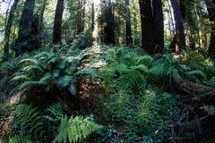 Paprocie i Redwood drzewa w Północnym Kalifornia Obraz Stock