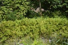 Paprocie rosnąć wzdłuż Napan rzeki lokalizować przy Sitio Napan, Barangay Goma, Digos miasto, Davao Del Sura, Filipiny zdjęcia stock