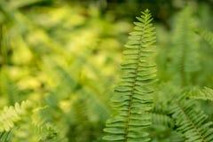Paprocie w lesie Obraz Royalty Free