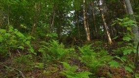 Paprocie w lesie fotografia royalty free