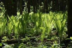 Paprocie w lesie Obrazy Stock