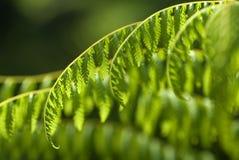 paprocie zielenieją tropikalnego Zdjęcia Royalty Free