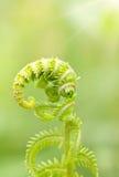 paprociowa świeża zielona wiosna Zdjęcia Royalty Free