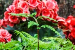 Paprociowa i czerwona begonia Fotografia Stock