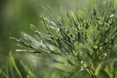 Paprociowa liść peonia Zdjęcia Stock