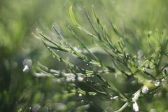 Paprociowa liść peonia Obrazy Stock