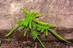 Paprociowa roślina na starej ścianie z cegieł obraz stock