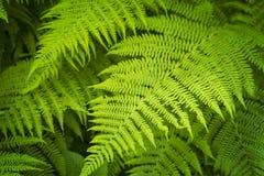 Paprociowa roślina Zdjęcie Stock