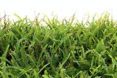 Paprociowa tapeta, Paprociowej liścia tła drzewa zieleni abstrakcjonistyczna lasowa Paprociowa świeża natura na biel ścianie zdjęcie royalty free