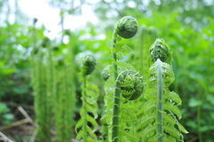 Paprociowe rośliny Obraz Stock