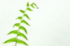 Paprociowego liścia zielony kolor Fotografia Royalty Free