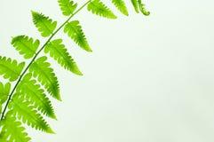 Paprociowego liścia zielony kolor Obrazy Stock
