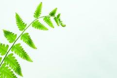 Paprociowego liścia zielony kolor Zdjęcie Stock