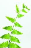 Paprociowego liścia zielony kolor Obraz Stock