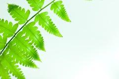 Paprociowego liścia zielony kolor Obraz Royalty Free
