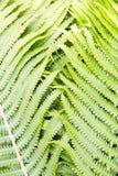 Paprociowej paprotki adder ` s jęzoru rośliny abstrakcjonistyczny tło, tekstura obraz royalty free