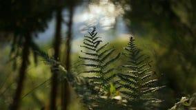 Paprociowi liście przy tłem spływanie strumienia lasu krajobraz zdjęcie wideo