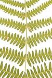 paprociowi liść Zdjęcie Stock