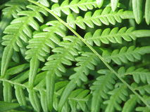Paprociowi liście obrazy stock