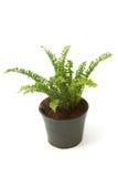 Paprociowy (bracken) houseplant w garnku odizolowywającym zdjęcia stock