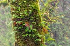 Paprociowy dorośnięcie na górze drzewa w pełni zakrywającego w mech fotografia royalty free