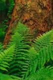 Paprociowy dorośnięcie pod drzewem Zdjęcie Stock