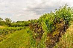 Paprociowy dorośnięcie w dziurze wierzbowy drzewo Fotografia Royalty Free