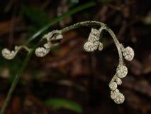 Paprociowy fiddlehead, tropikalny cloudforest, Costa Rica Obrazy Stock