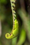 Paprociowy kameleon Zdjęcia Royalty Free