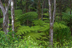 paprociowy lasowy Hawaii kea mauna Obraz Stock