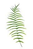 Paprociowy liść Zdjęcia Royalty Free