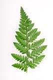 Paprociowy liść obrazy stock