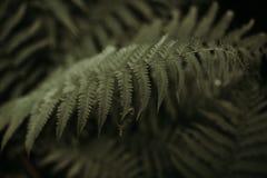 Paprociowy liść zdjęcie royalty free