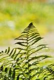 Paprociowy liść w deszczu Obraz Royalty Free