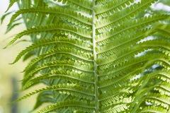 Paprociowy liść w ogródzie, Zdjęcie Stock