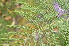 Paprociowy liść, Wiktoria, BC, Kanada obrazy royalty free