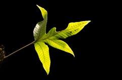 Paprociowy liść z ciemnym tłem Fotografia Stock