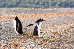 Papua penguin couple at the seaside. On Martillo Island Stock Photography