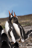 Papua penguin couple at the seaside scream. The Papua penguin couple at the seaside scream in Patagonia Stock Photos
