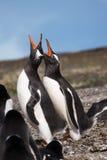 Papua penguin couple at the seaside scream Stock Photos