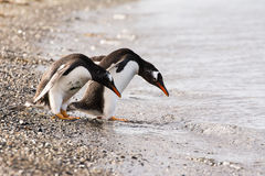 Papua penguin couple at the seaside. In Tierra del Fuego Stock Images