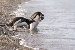 Papua penguin couple at the seaside. In Tierra del Fuego Royalty Free Stock Photography