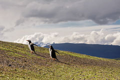 Papua penguin couple walking on hill. The Papua penguin couple walking on hill Stock Image