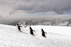 Papua penguins walking on hill on snow stock photos