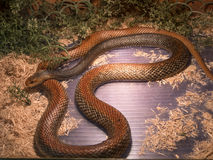 Papuan大班Oxyuranus scutellatus canni 免版税图库摄影