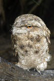 Papuan frogmouth Royalty Free Stock Photos